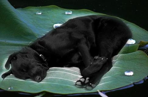 Hund auf Lotusblatt